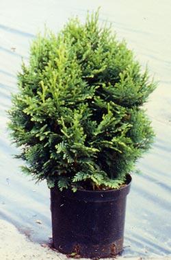 Chabo-Yadori+ Federkugelzypresse Chamaecyparis obtusa
